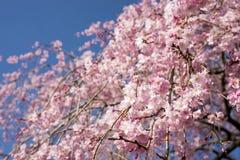 啜泣的樱桃在天空下 库存照片