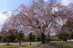 啜泣的樱桃在奈良公园 免版税图库摄影