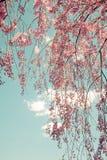 啜泣的樱桃树 库存照片
