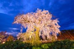 啜泣的樱花树 免版税图库摄影