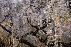 啜泣的樱花,京都日本 免版税库存图片