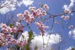 啜泣蓝色樱桃的天空 库存图片