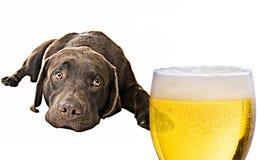啤酒注视的实验室 免版税图库摄影