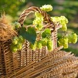 啤酒花球果树和大麦用麦子 免版税库存照片