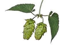 啤酒花球果树的例证 免版税库存照片