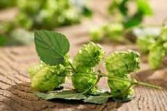 啤酒花球果树细节  免版税库存图片