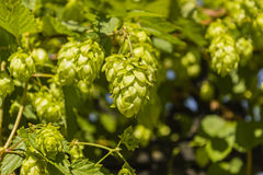 啤酒花球果树 库存图片