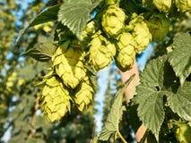 啤酒花球果树 免版税图库摄影