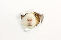 啮齿目动物吃了在纸的一个孔。 库存照片