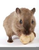 啮齿目动物的概念照片由一个黄色花生的 免版税库存图片