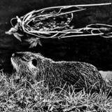 啮齿目动物的黑白照片在运河附近的 免版税库存图片
