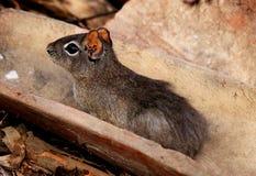 啮齿目动物豚鼠属aperea在它的自然生态环境 图库摄影