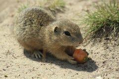 啮齿目动物 免版税库存图片