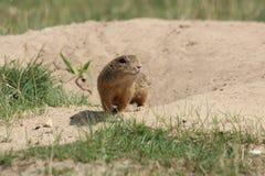 啮齿目动物 免版税图库摄影