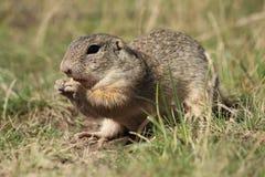啮齿目动物 库存图片