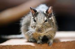 啮齿目动物 免版税库存照片