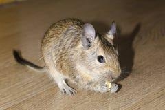 啮齿目动物degu吃 免版税库存照片