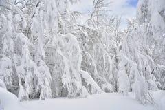 喀尔巴阡山脉的冷杉karpaty山滑雪的降雪结构树绊倒乌克兰冬天 库存照片
