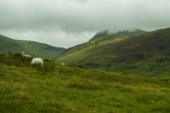 喀尔巴阡山脉的山山脉绵羊乌克兰 免版税库存照片