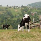 喀尔巴阡山脉的母牛挂接 库存照片