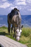 喀尔巴阡山脉的马 库存图片