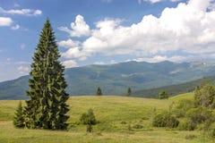喀尔巴阡山脉全景在与偏僻的杉树的夏天 免版税库存图片