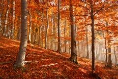 喀尔巴阡山脉的山毛榉森林,斯洛伐克。 免版税图库摄影