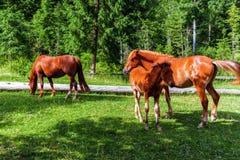 喀尔巴阡山脉的山顶视图 吃草在草甸的马 免版税图库摄影
