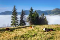 喀尔巴阡山脉的山顶视图 在下倾斜的母牛谎言 免版税库存图片