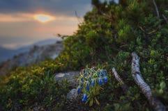 喀尔巴阡山脉的山顶视图 开花在朝阳的背景的响铃在山的 免版税库存照片