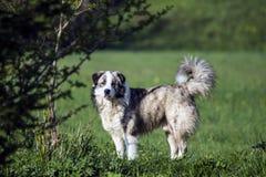 喀尔巴阡山脉的护羊狗 库存图片