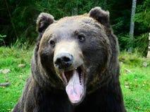 喀尔巴阡山脉的棕熊 免版税库存照片