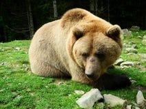 喀尔巴阡山脉的棕熊 库存照片