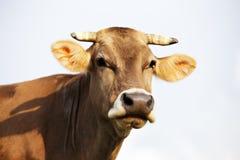 喀尔巴阡山脉的棕色母牛室外特写镜头 图库摄影