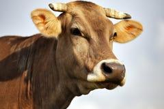 喀尔巴阡山脉的棕色母牛室外特写镜头 免版税图库摄影