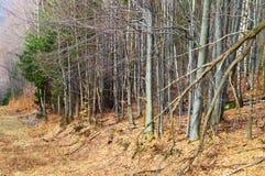 喀尔巴阡山脉的森林 库存图片