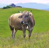 喀尔巴阡山脉的母牛 免版税库存照片