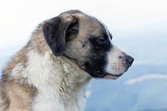 喀尔巴阡山脉的狗罗马尼亚人牧羊人 免版税库存图片