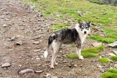 喀尔巴阡山脉的狗罗马尼亚人牧羊人 库存照片