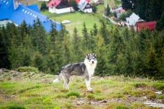 喀尔巴阡山脉的狗罗马尼亚人牧羊人 库存图片