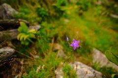 喀尔巴阡山脉的花在Parang Moutains, Petrosani,罗马尼亚 免版税图库摄影