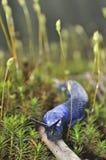 喀尔巴阡山脉的蓝色子弹(Bielzia coerulans) 免版税图库摄影