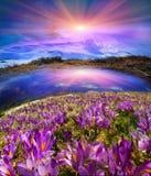 喀尔巴阡山脉的谷生长美丽的高山花 免版税库存图片