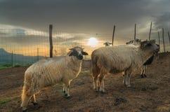 喀尔巴阡山脉的绵羊和农场 库存图片