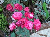 喀拉拉玫瑰色花 库存图片