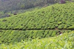 喀拉拉munnar茶庄园 图库摄影