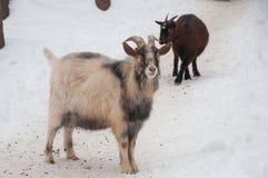 喀麦隆山羊冬天 库存照片