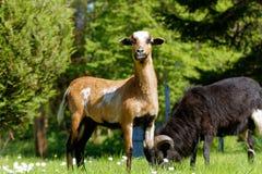 喀麦隆的一只美丽的幼小绵羊 免版税库存照片