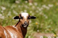喀麦隆的一只美丽的绵羊 免版税库存图片