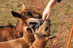 喀麦隆绵羊和山羊 绵羊和一只山羊在牧场地 抚摸绵羊的女孩 库存图片